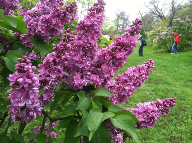 "In the foreground, Syringa Vulgaris ""Grand Duc Constantin."" In the background, hardy Bostonians."